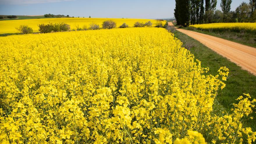 GALERÍA | La colza tiñe de amarillo los campos de Zamora