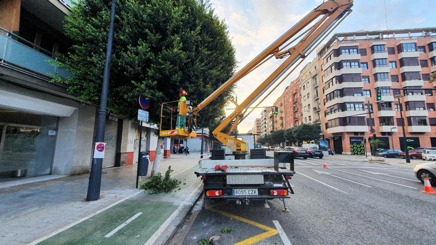 El ayuntamiento inicia la poda de los 231 ficus de la avenida del Puerto