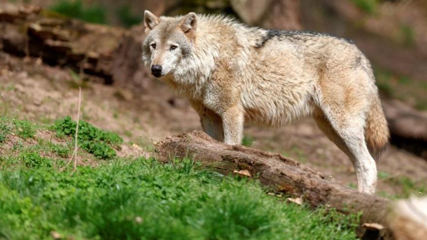 La Junta rechaza casi en pleno la protección del lobo, pero evita pedir el cese de Hugo Morán