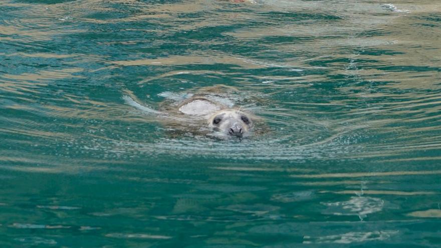 La foca gris vuelve a la cala de Llebeig de Benitatxell y Teulada-Moraira