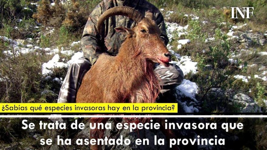 ¿Sabías qué especie invasora de la provincia de Alicante podría desaparecer?
