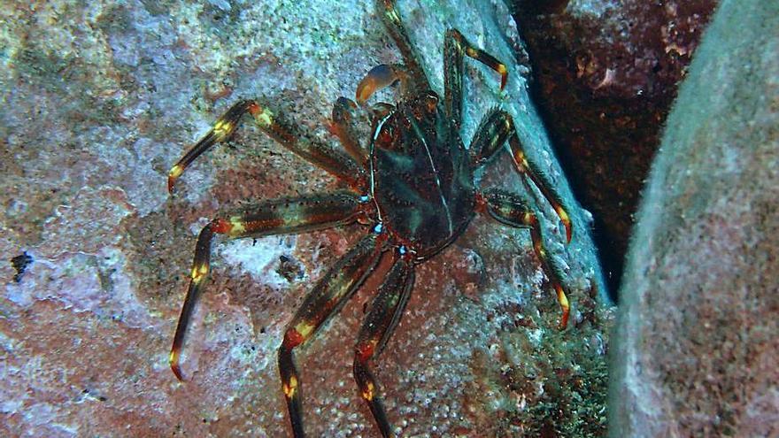 El cangrejo araña invade el canal de Menorca