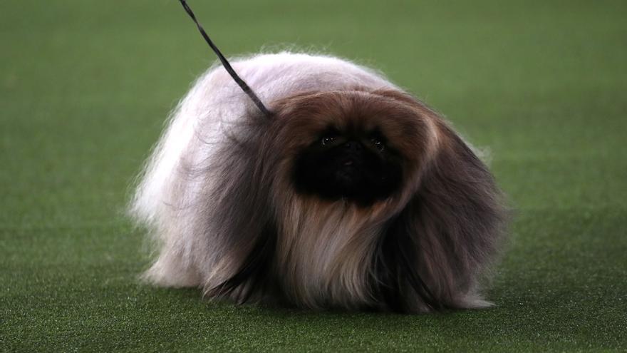 Wasabi, el gos més maco del Westminster Dog Show