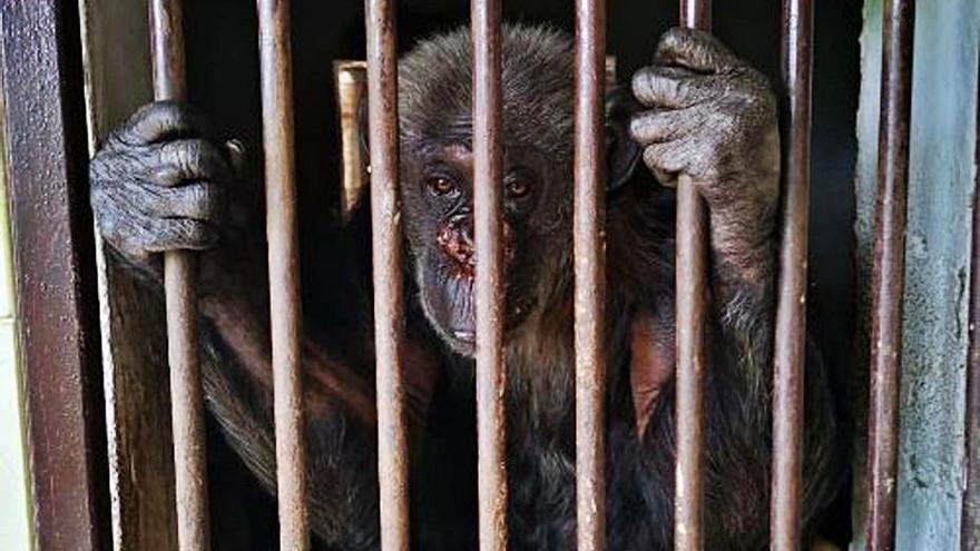 La Fundació MONA demana   donacions per al rescat d'una ximpanzé